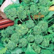 Broccoli Brocoletto - Appx 1500 Seeds
